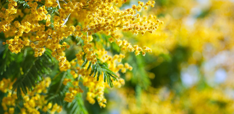 Catclaw wattle acacia genus level details and allergy info catclaw wattle acacia genus level details and allergy info pollen mightylinksfo
