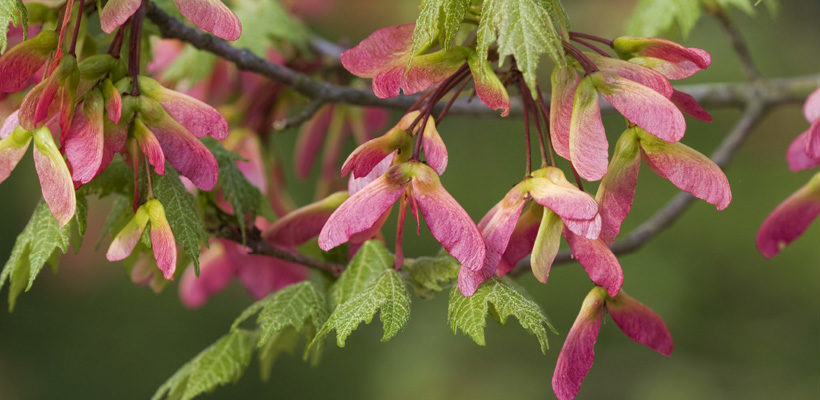Maple, Box Elder (Acer) Genus Level details and Allergy Info