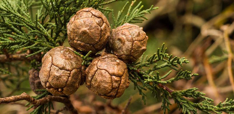 Cypress (Cupressus) Genus Level details and Allergy Info | Pollen com
