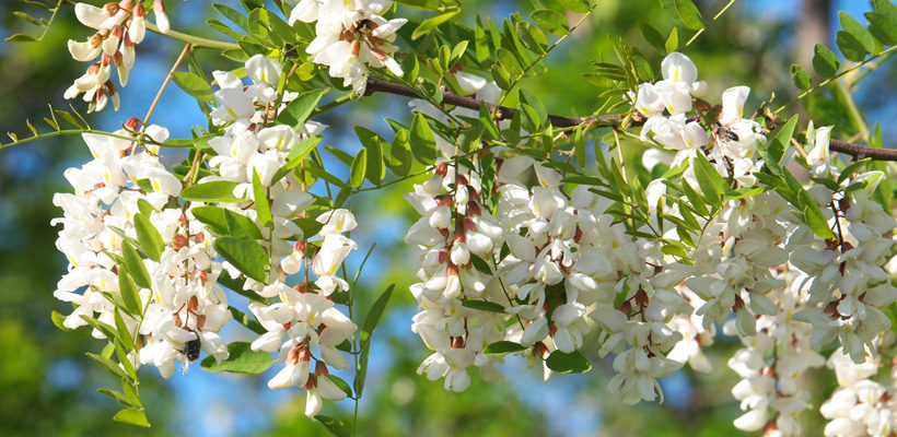 Locust robinia genus level details and allergy info pollen locust mightylinksfo